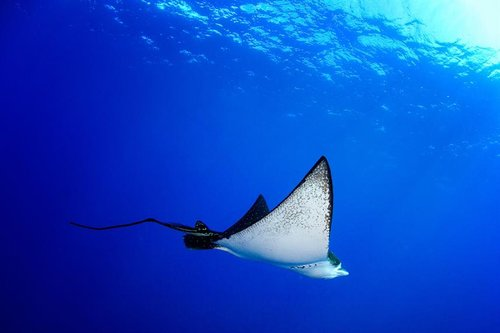 Oceanic_Eagle_Ray.jpg
